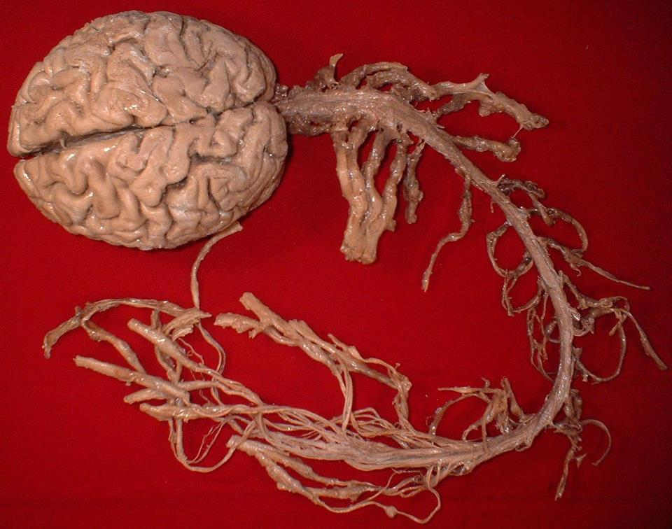 The Central Nervous System (CNS) (3/4)