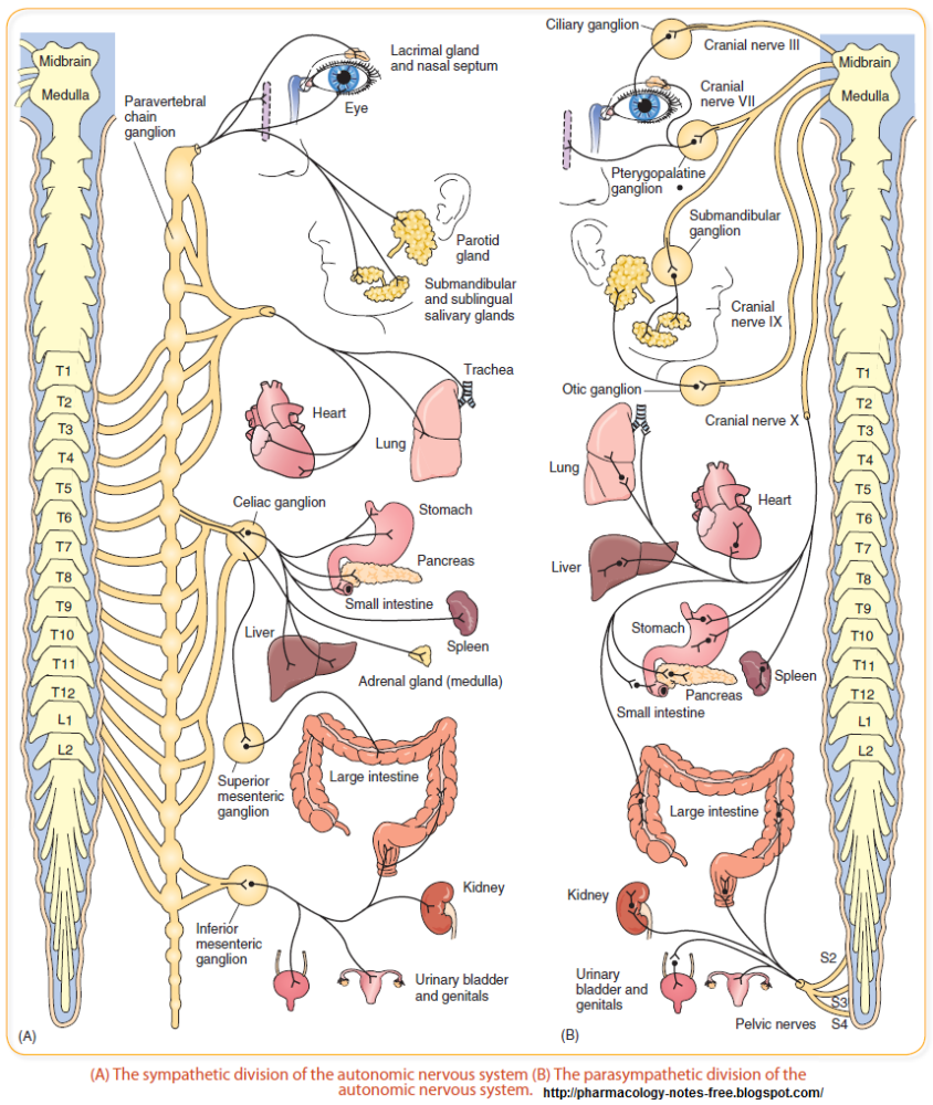 The Central Nervous System (CNS) (1/4)
