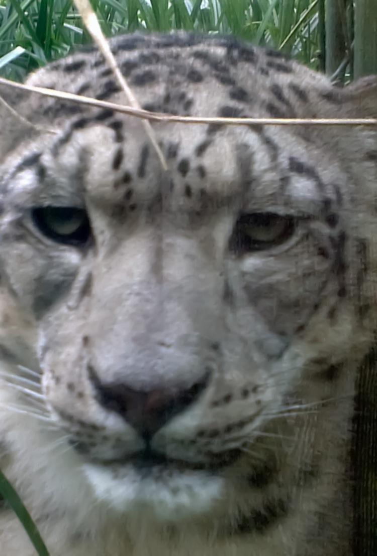 Snow leopard, Dublin Zoo